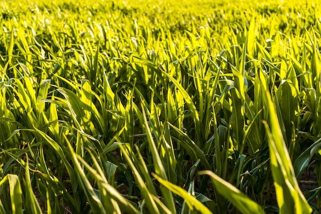 Zielone pole kukurydzy w słoneczny dzień