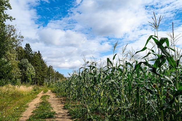 Zielone pole kukurydzy. wiejska droga wzdłuż pola.