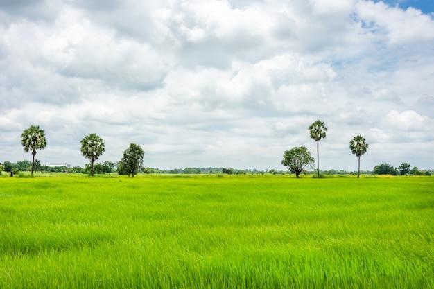 Zielone pole kukurydzy