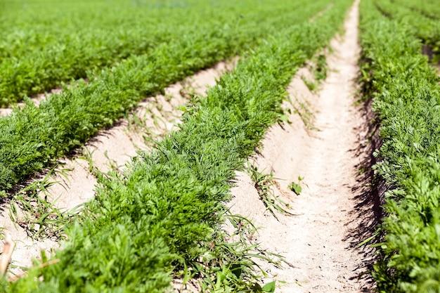 Zielone pole marchwi - pole rolnicze, na którym rośnie zielona młoda marchewka, rolnictwo, rolnictwo