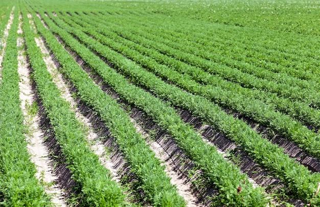Zielone pole marchwi pole uprawne, na którym rośnie zielona młoda marchewka, rolnictwo, hodowla