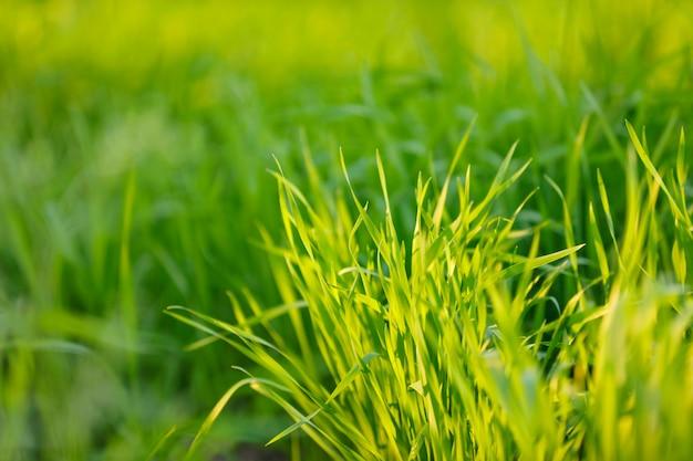 Zielone pole pszenicy w gospodarstwie indian