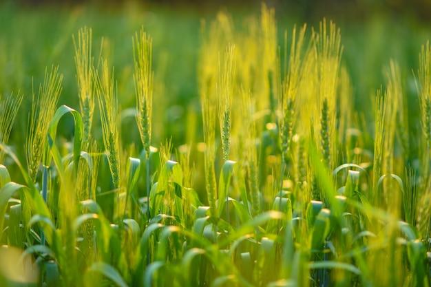 Zielone pole pszenicy w indiach