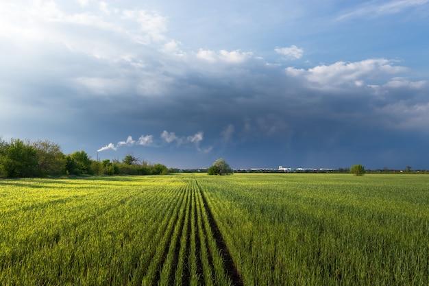 Zielone pole pszenicy