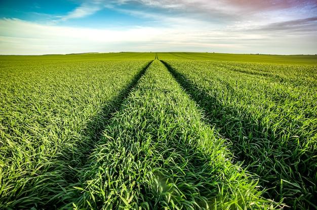 Zielone pole rolne na początku lata
