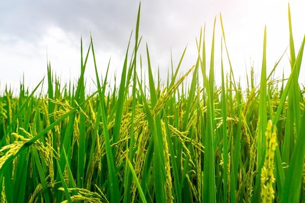 Zielone pole ryżowe. plantacja ryżu.