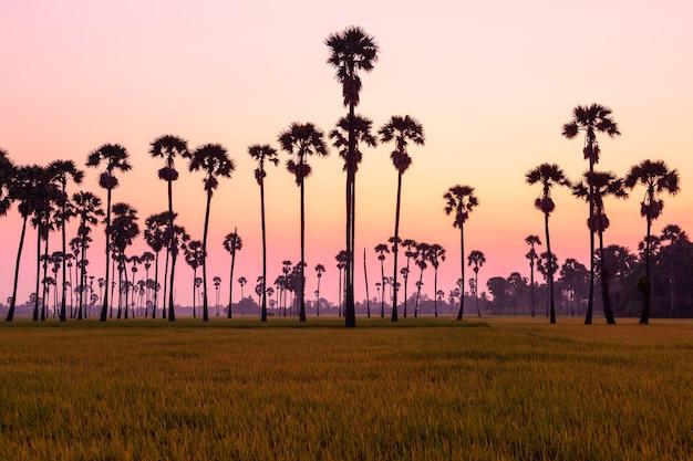Zielone pole ryżowe rano z palmami w czasie wschodu słońca