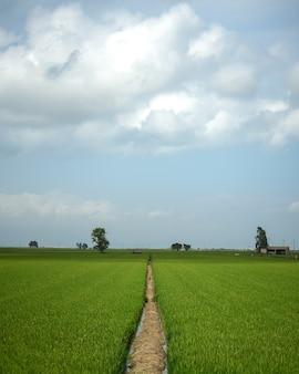 Zielone pole ryżowe z niebieskim niebem i chmurami
