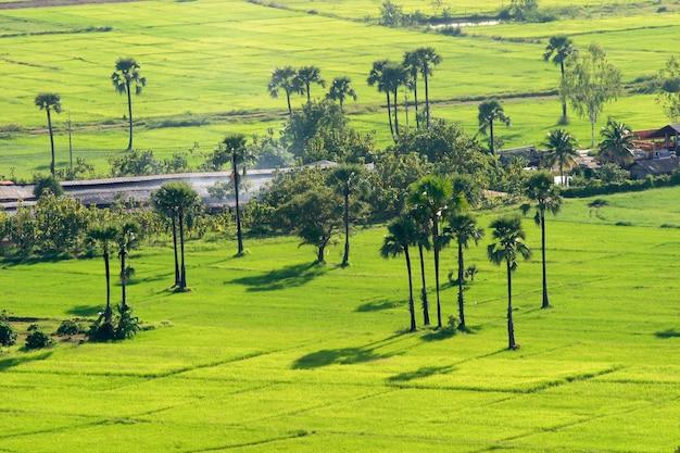 Zielone pole ryżowe z palmą palmyra w chiang mai, tajlandia