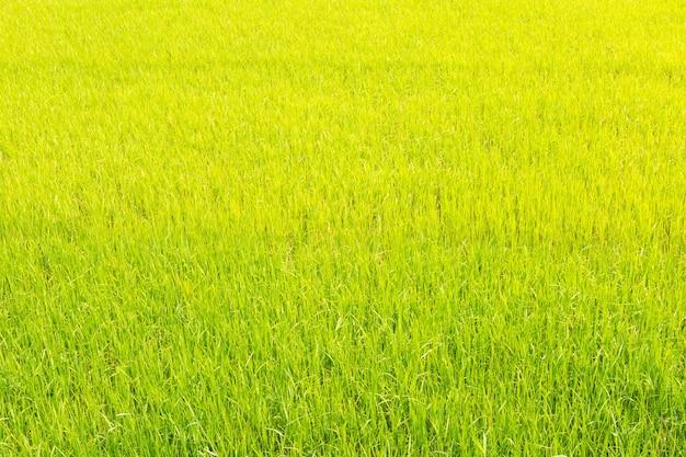 Zielone pole ryżowe.