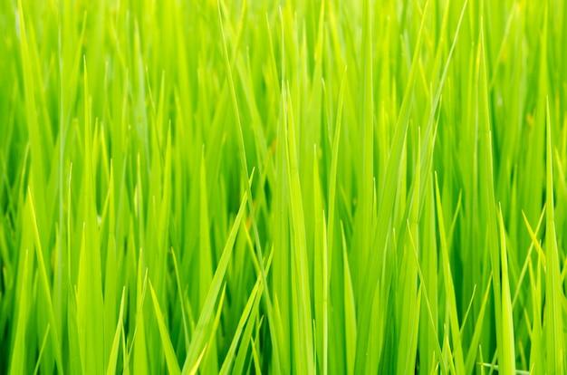 Zielone pole ryżu i zachód słońca, w azji (organiczne)