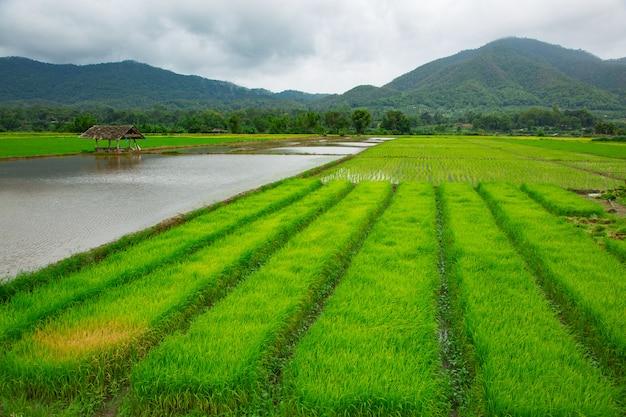 Zielone pole ryżu roślinnego z wodą