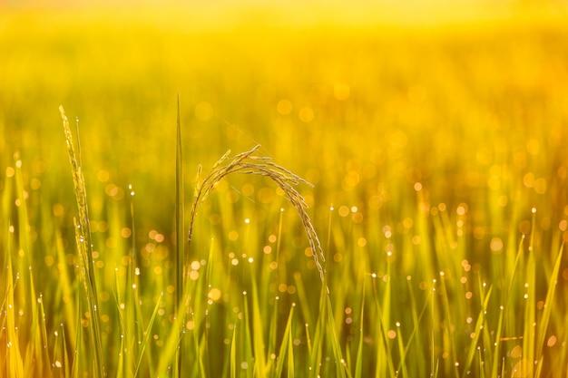 Zielone pole ryżu w tajlandii