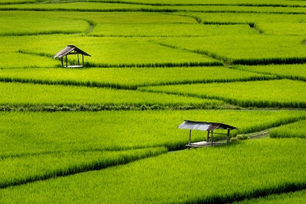 Zielone pole ryżu