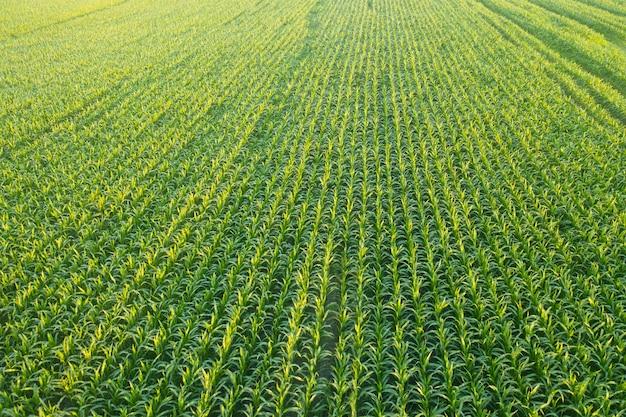 Zielone pole soczystych pędów kukurydzy o świcie - równe rzędy zielonej młodej kukurydzy.
