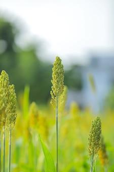 Zielone pole sorgo w indiach