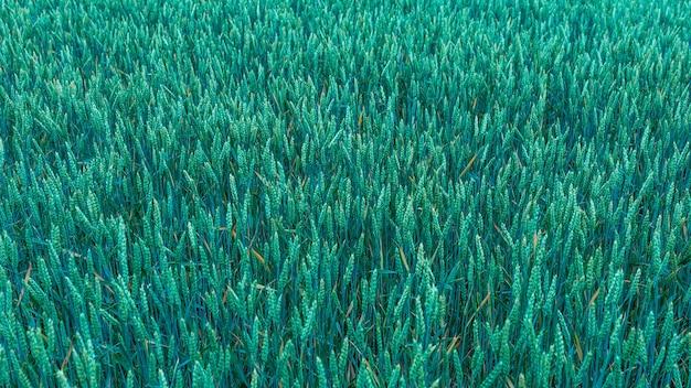 Zielone pole z kłosami pszenicy