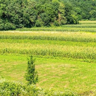 Zielone pole z kukurydzą w lesie