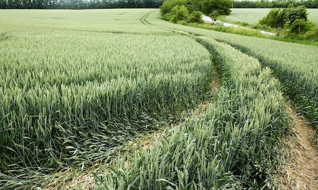 Zielone Pole Z Zieloną Pszenicą I Drogą Premium Zdjęcia
