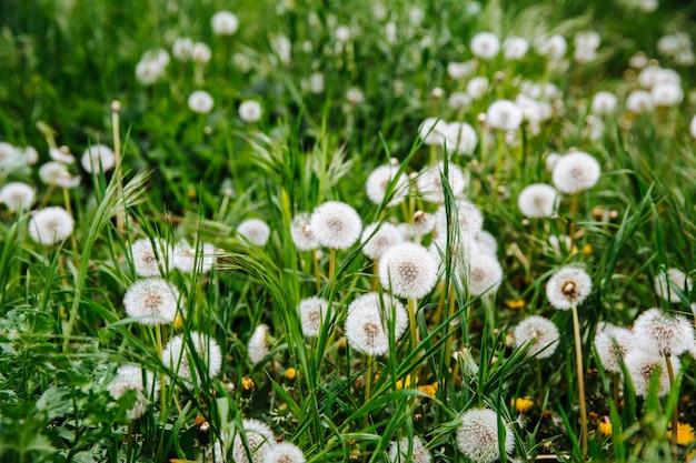 Zielone pole z żółtymi i białymi mleczami.