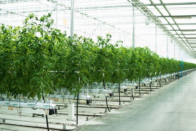 Zielone pomidory kiełkują w szklarni
