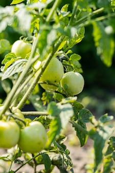 Zielone pomidory na krzaku. rosnące zielone pomidory, dojrzewające na gałęzi w ogrodzie. rolnictwo organiczne. koncepcja rolnictwa