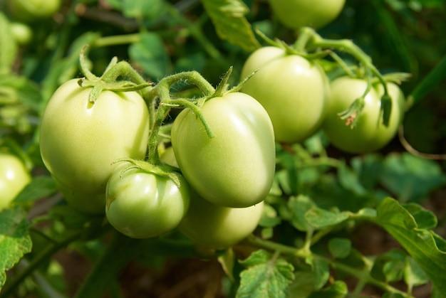 Zielone pomidory na krzaku w ogrodzie