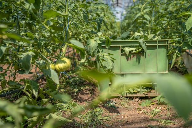 Zielone pomidory w szklarni dojrzewają na słońcu na farmie