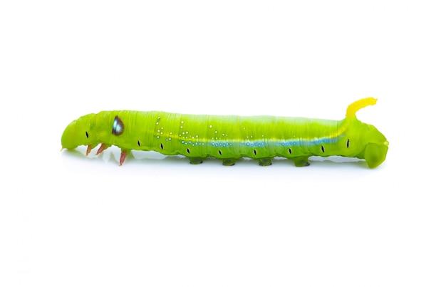 Zielone robaki gąsienice zwierząt izolować na białym tle