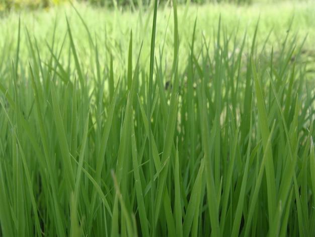 Zielone rośliny ryżowe