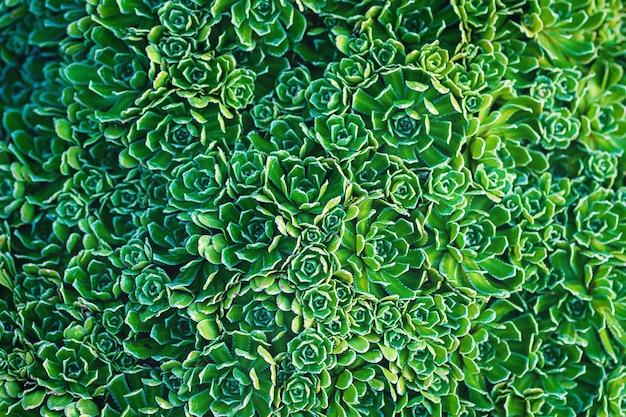 Zielone rośliny teksturowane tło dożywotnia skalnica saxifraga paniculata