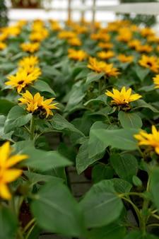 Zielone rośliny z żółtymi kwiatami rosnącymi w szklarni