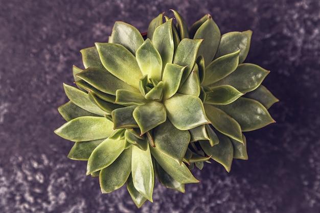 Zielone soczyste rośliny na ciemnym tle