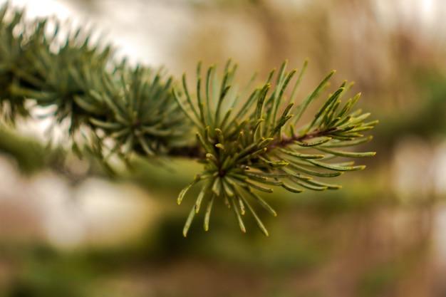 Zielone świerkowe gałęzie z małymi igłami zbliżenie