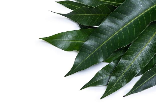 Zielone świeże liście mango na białym tle, w szczegółach piękna tekstura żył