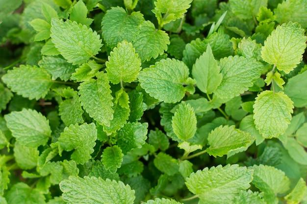 Zielone świeże liście melisy z bliska. tło żywności.