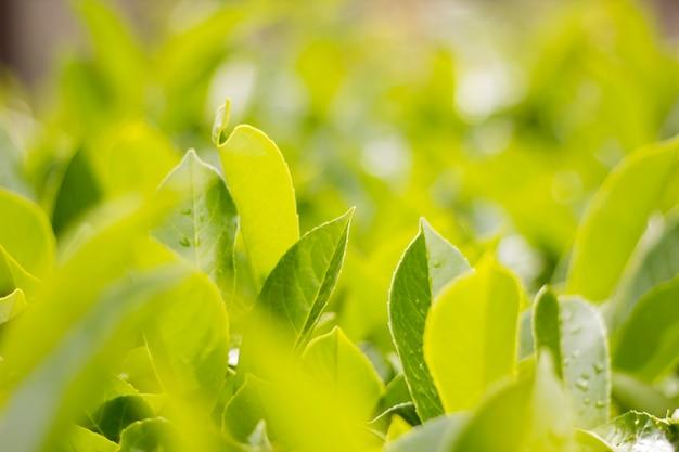 Zielone, świeże liście