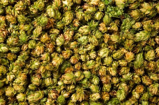 Zielone świeże szyszki chmielowe do robienia piwa i chleba z bliska