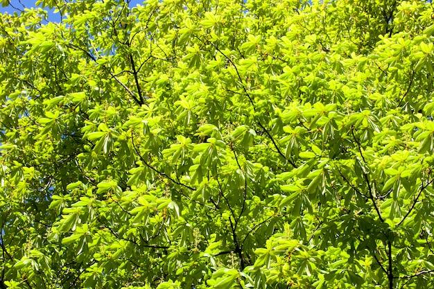 Zielone tło kasztanowca liści wiosny w parku
