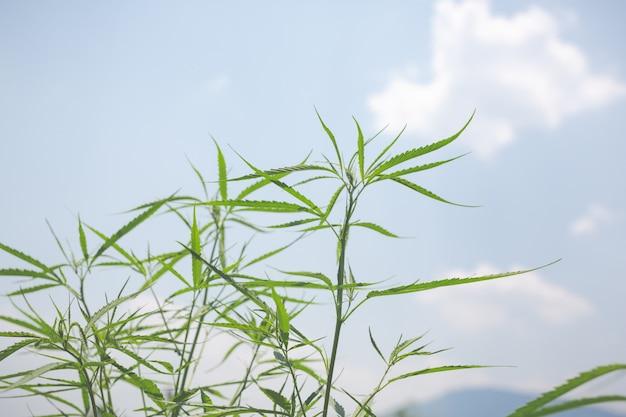 Zielone tło marihuany.