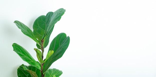 Zielone tło rośliny doniczkowe liście izolują na białym tle