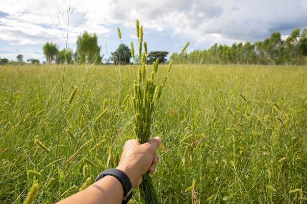 Zielone trawy kwiatu rękojeści na trawy naturalnym tle.