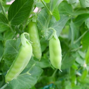 Zielone uprawy soi w gospodarstwie rolnym