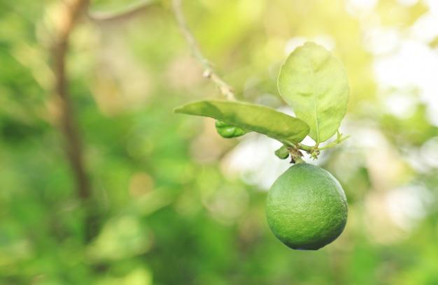 Zielone wapno na drzewie rosnącym w gospodarstwie