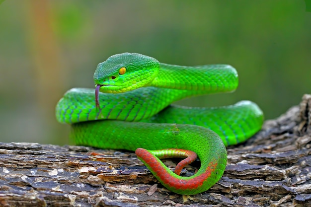 Zielone węże jaskiniowe żmija żmija, timreresurus albolabris