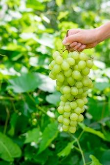 Zielone winogrona na tle zieleni. ręka trzyma winogrona w powietrzu na ulicy. obszerna winnica. kiść zielonych winogron krzewiastych.