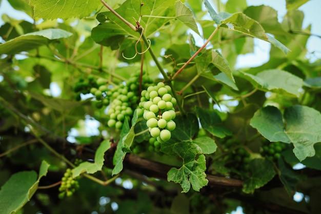 Zielone winogrona w winnicy