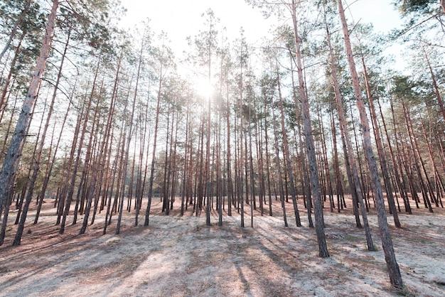 Zielone wysokie drzewa w lesie