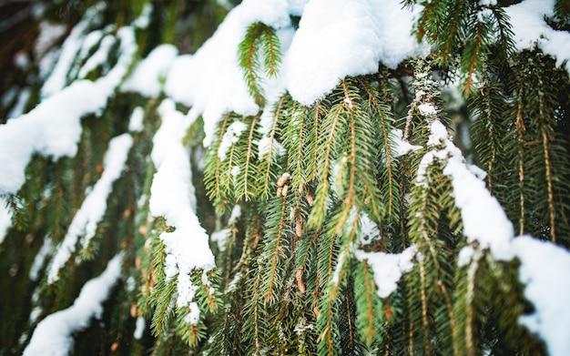 Zielone, zamarznięte gałęzie świerkowe z pięknymi szyszkami pokrytymi grubą warstwą śniegu