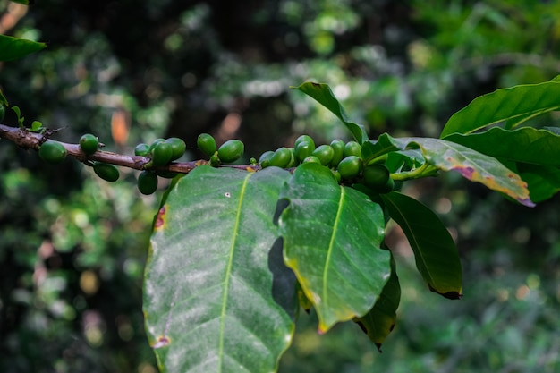 Zielone ziarna kawy na drzewie